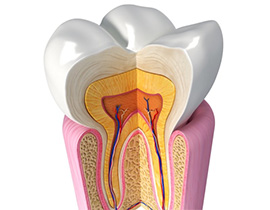 A cross-sectional diagram of a tooth.